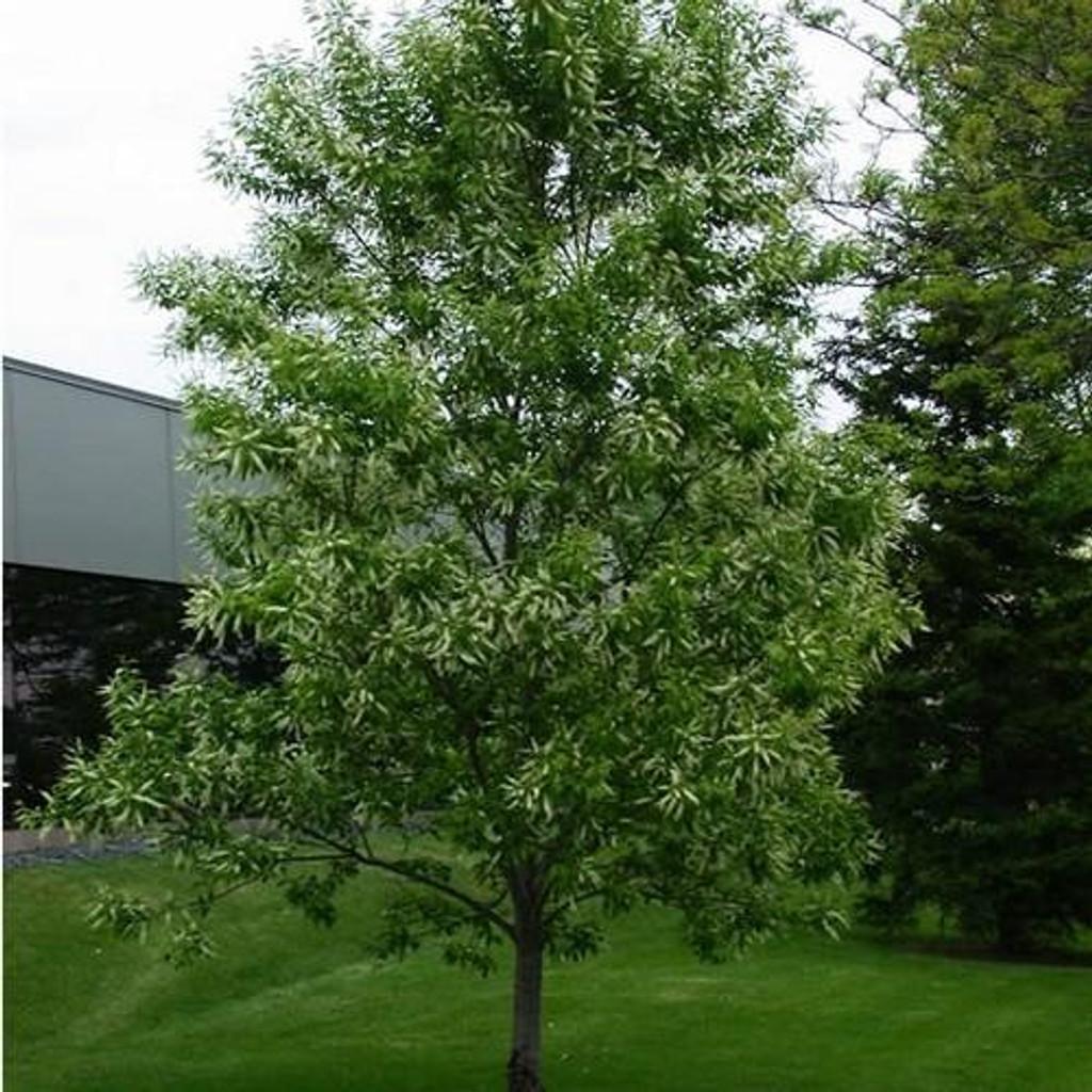 Black Cherry Tree