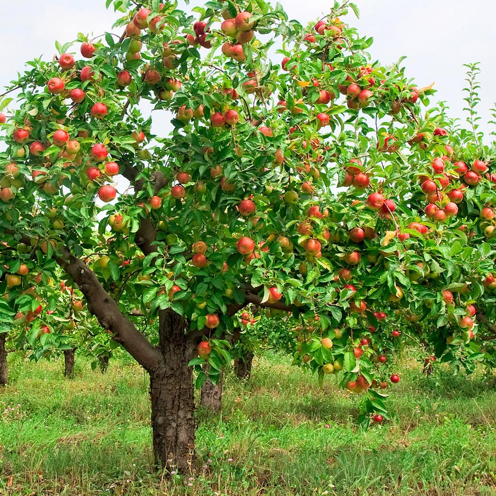 Common Apple Tree