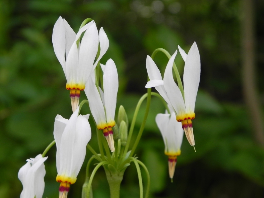 Shooting star is a hardy wildflower that grows well in shade.
