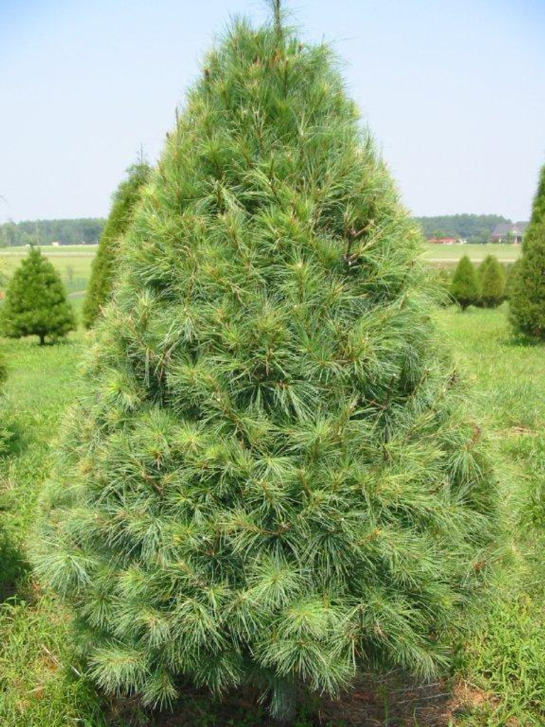 Eastern white pine trees make great evergreen hedges.