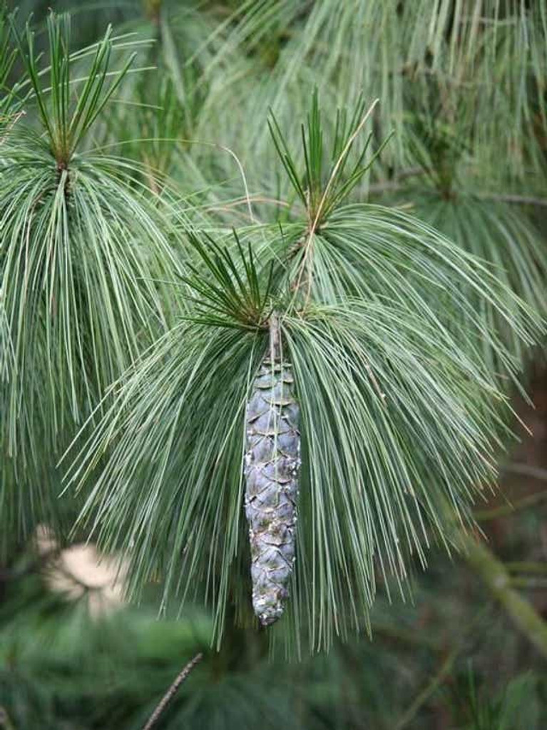 White Pine trees are fast growing.