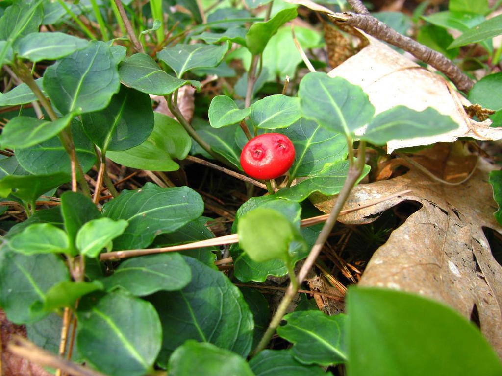 Partridgeberry plant