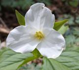 Great White Trillium