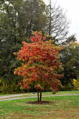 Sassafras Tree in Autumn