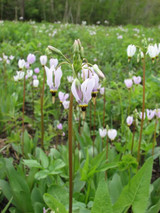 Shooting star perennials grow well with many other wildflowers.