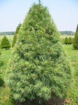 White pine seedlings are fast growing evergreen trees.