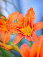 Orange Daylily