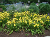 Yellow Daylilies in full bloom