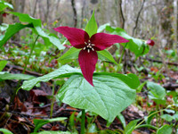 Red Trillium  growing in the woods