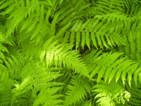 Hay Scented Ferns