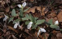 Snow Trillium - Trillium Nivale