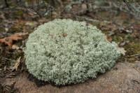 Clump of reindeer moss