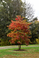 Sassafras Tree in Autumn