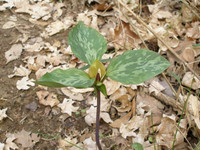 Prairie Trillium Perennial