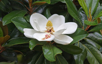Magnolia Bloom Flower