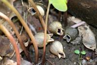 Little brown jug plant