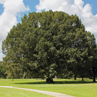 Chestnut Oak