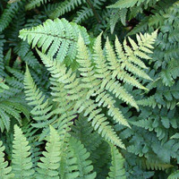 Leatherwood fern