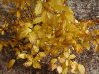 Common sweeyshrub has beautiful fall foliage.