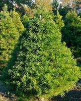 Virginia Pine make the perfect Christmas tree.