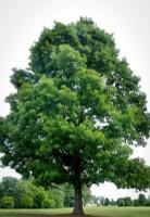 White Oak Seedlings