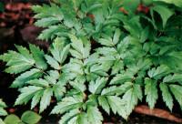 Black Cohosh plant leaves