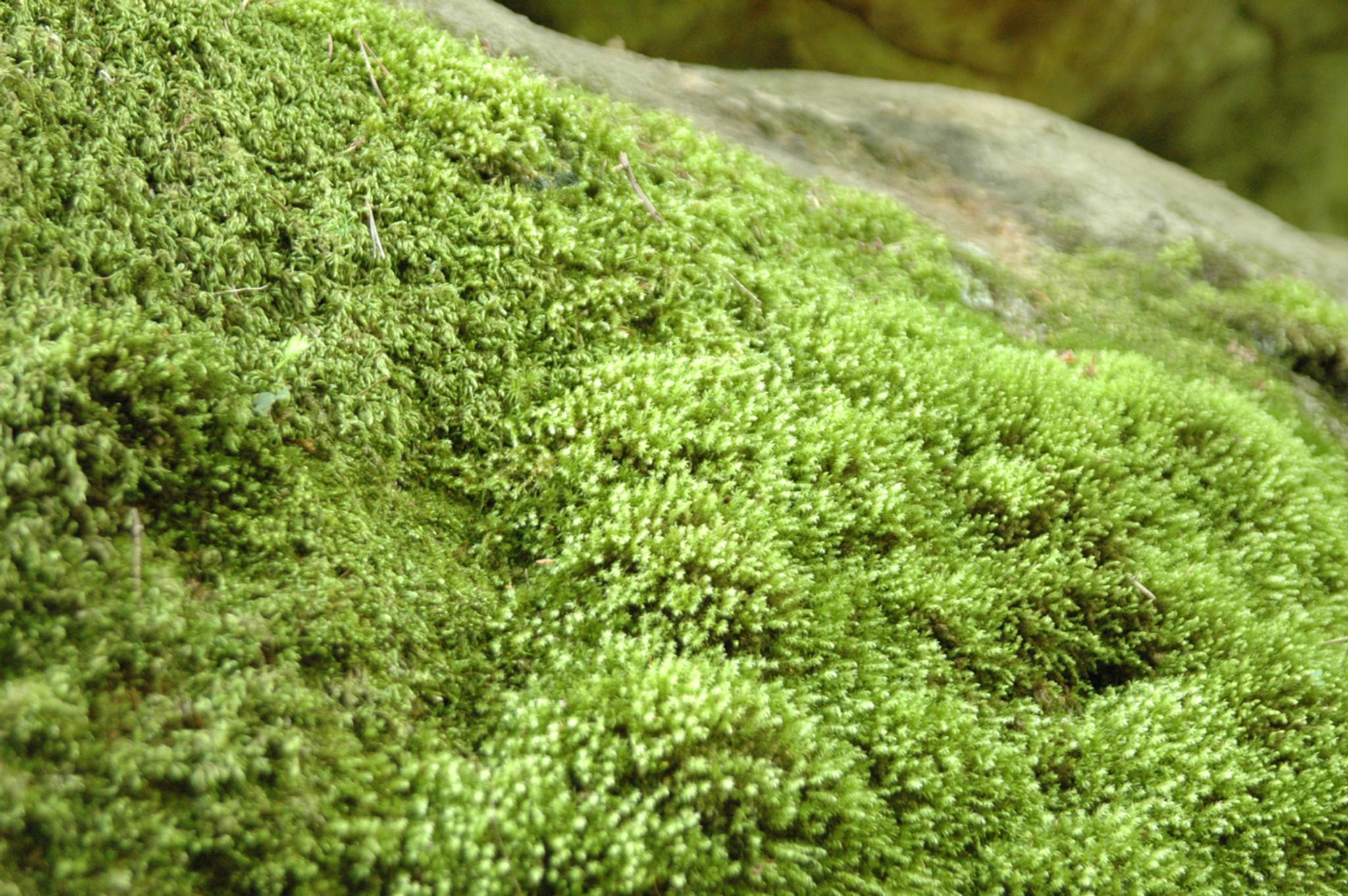 Moss Plant