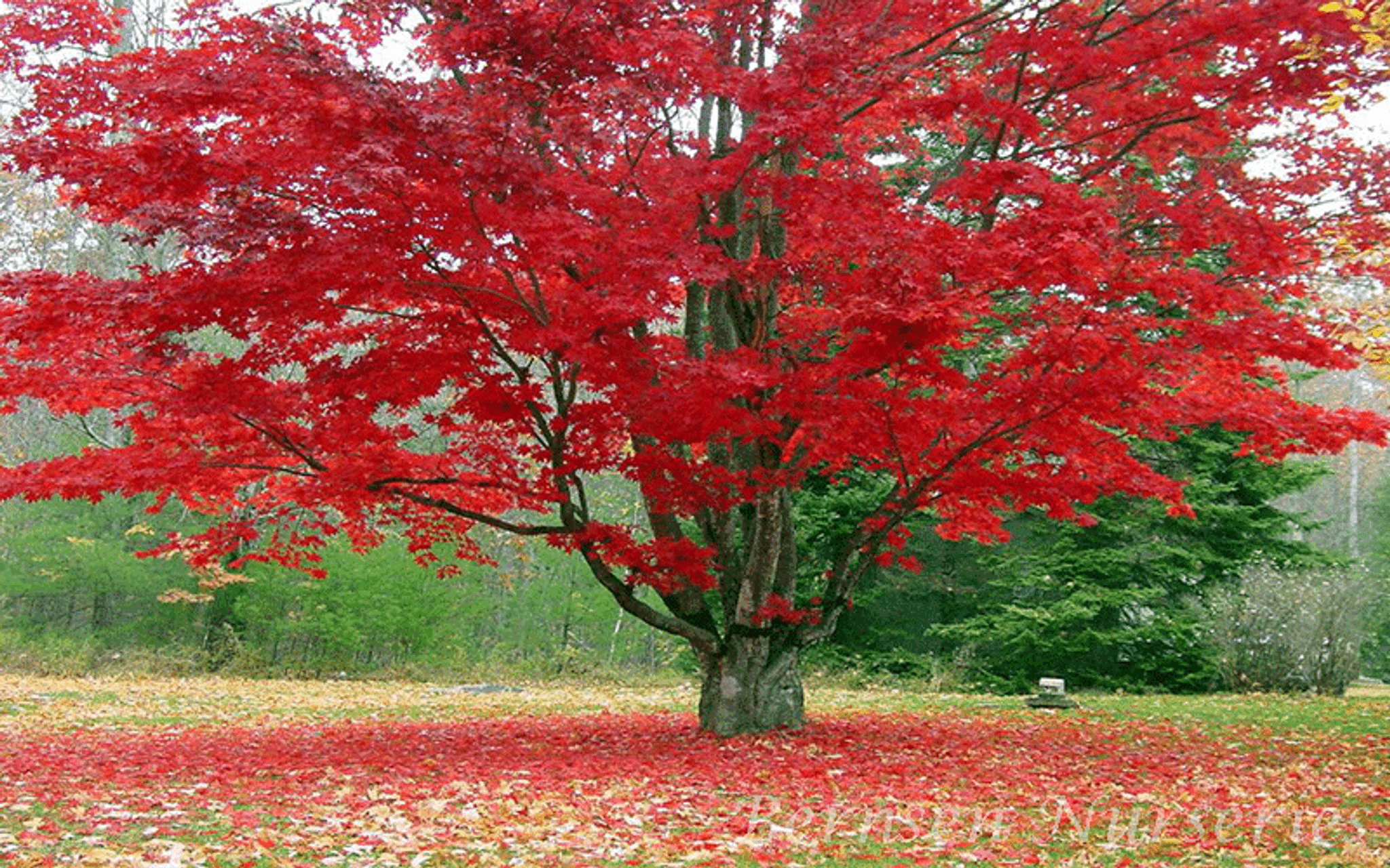 Buy Red Maple Trees Online Free Shipping Over 99 99