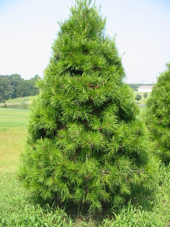 Buy Virginia Pine Trees Online | Free Shipping Over $99