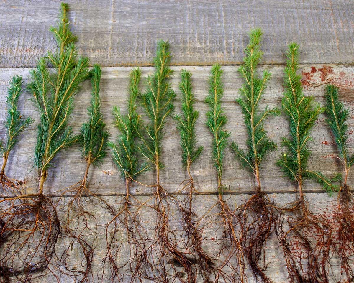 figure-bulk-seedlings.jpg