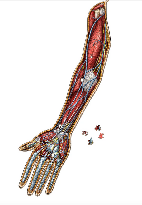 Human Right Arm–Dr Livingston's Anatomy Puzzle 478pc