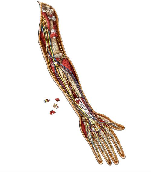 Human Left Arm–Dr Livingston's Anatomy Puzzle 472pc