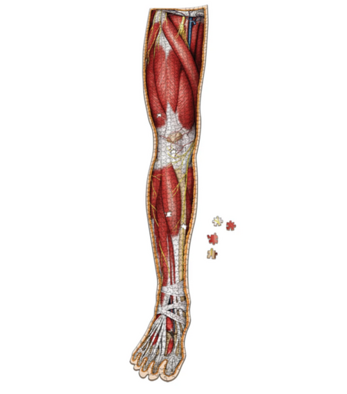 Human Right Leg–Dr Livingston's Anatomy Jigsaw 848pc