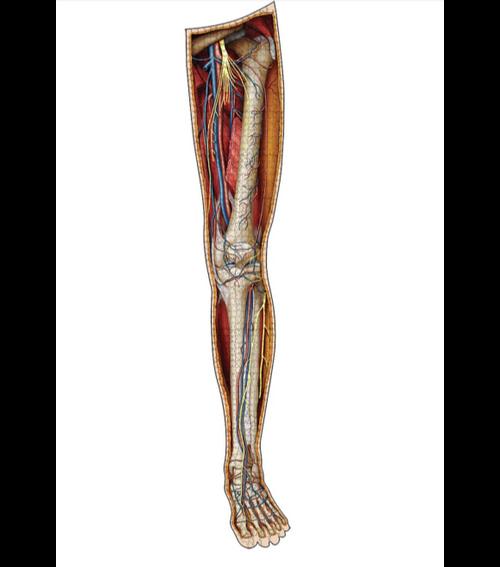 Human Left Leg–Dr Livingston's Anatomy Jigsaw Puzzles 864pc