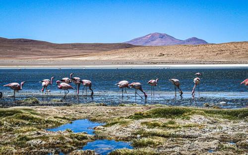 Salar de Uyuni, Bloivia - Flamingo