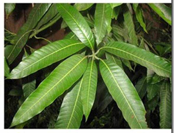 Mango leaves (per 0.25lb)