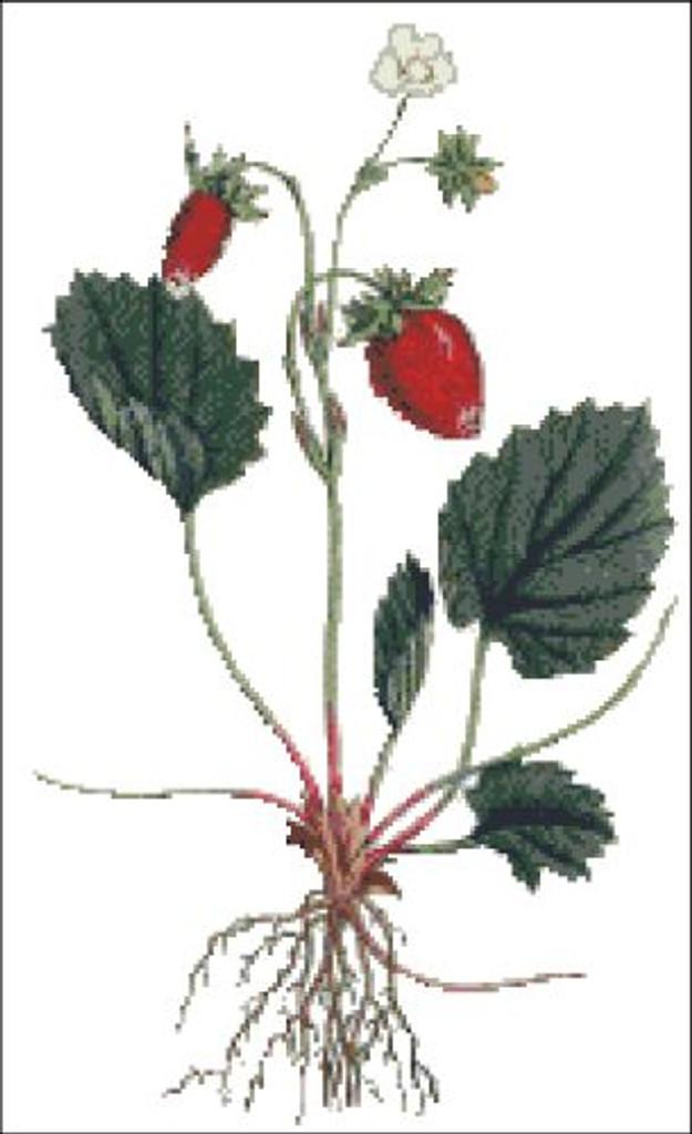 Strawberry of Versailles