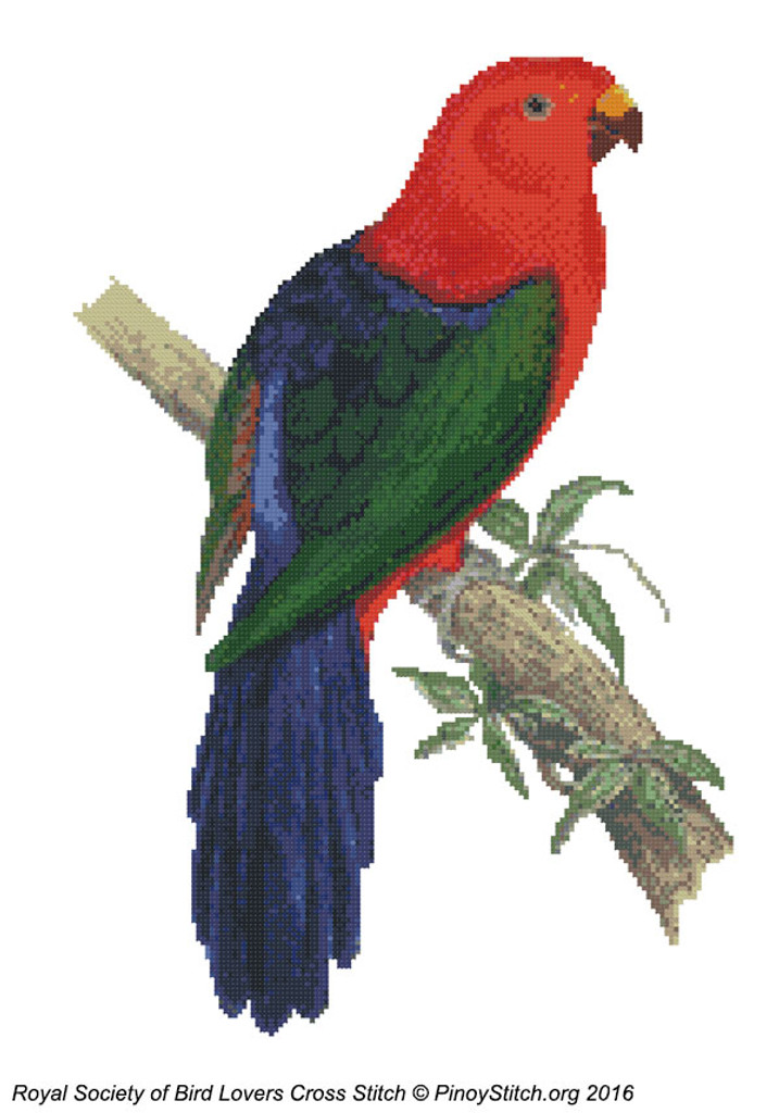 RSBL Parakeet King Parrot