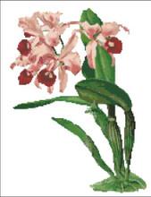 Orchid Pattern 707 (Cattleya Lawrenceana)