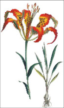 Catesby's Lily