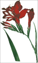 Superb Gladiolus