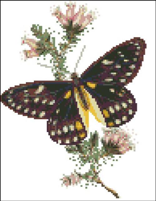 Belladona Butterfly