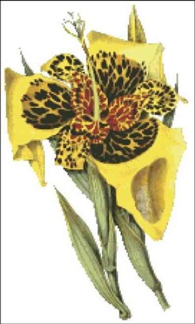 Orchid Pattern 704 (Tigridia Conchiflora)