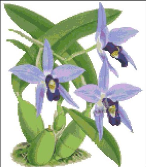 Orchid Pattern 705 (Laelia Anceps Scottiana)