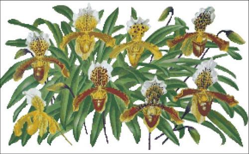 Orchid Cypripedium