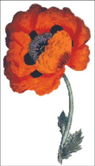 Eastern Poppy