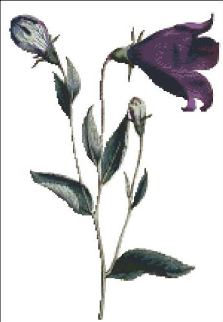 Greater Flowered Bell Flower