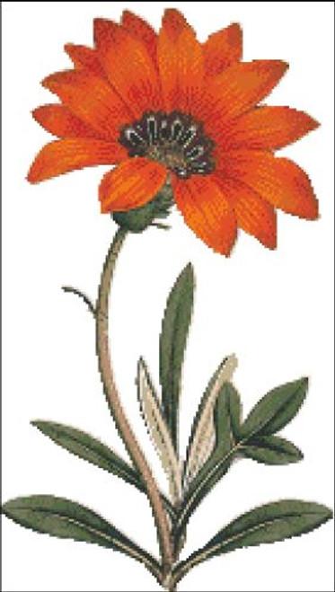 Rigid Leaved Gorteria