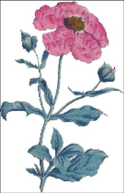 Rose Cistus