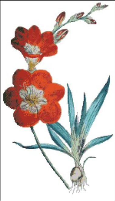 Saffron Colored Ixia